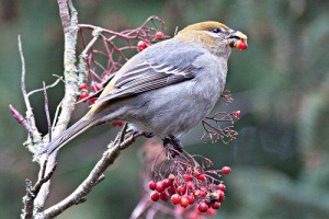 pine-grosbeak-two